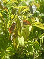 Cornus sanguinea 20080704a.jpg