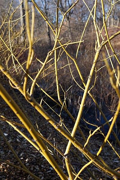 File:Cornus sericea 'Flaviramea' (Yellowtwig Dogwood) (32157867860).jpg