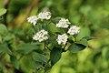 Cornus sericea sericea UL 03.jpg