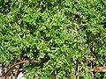 Coronopus didymum plant (10).jpg