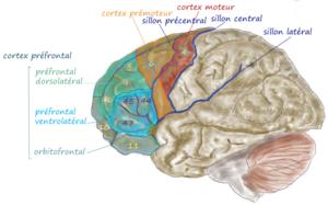 Français : cortex frontal