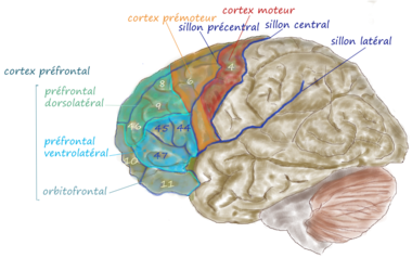 Cortex frontal lateral.png