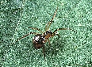 Theridiidae - Coscinida japonica