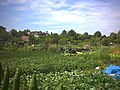 Cottenham Park allotments, Cambridge Road. - geograph.org.uk - 20685.jpg