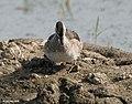 Cotton Pygmy Goose I IMG 9364.jpg