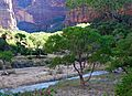Cottonwoods at Sunrise, Zion National Park, UT 2014 (31690360876).jpg