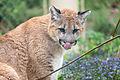 Cougar Licking His Nose (17855168902).jpg