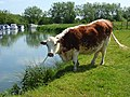 Cow beside the Thames, Radcot - geograph.org.uk - 448812.jpg