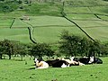 Cows sunbathing - geograph.org.uk - 857991.jpg