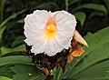 Crêpe ginger flower @ Kanjirappally 01.jpg