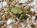 Crab Cangrexo 66eue.jpg