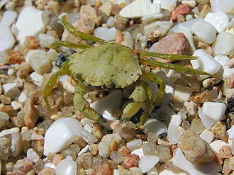 Carcinus maenas - A young Carcinus maenas showing the common green colour