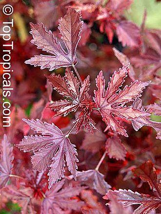 Hibiscus acetosella - Image: Cranberry hibiscus leaves