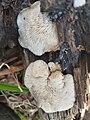 Crepidotus mollis 47006400.jpg