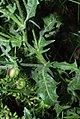 Crepis foetida leaf (01).jpg