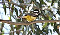 Crested Shrike-Tit (Falcunculus frontatus) (31412474215).jpg