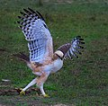Crested hawk eagle walking in the grass.jpg