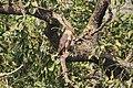 Crested serpent eagle at Chitwan National Park (2).jpg