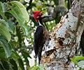 Crimson-crested Woodpecker. Campephilus melanoleucos - Flickr - gailhampshire.jpg