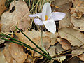 Crocus carpetanus EnfoqueFlor 2011-2-27 SierraMadrona.jpg