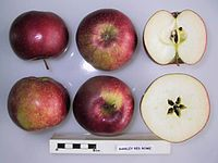 Cross section of Barkley Red Rome, National Fruit Collection (acc. 1969-064).jpg