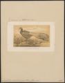 Crossoptilon mantchuricum - 1867 - Print - Iconographia Zoologica - Special Collections University of Amsterdam - UBA01 IZ16900270.tif