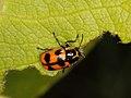 Cryptocephalus quinquepunctatus (Chrysomelidae) (7576505858).jpg