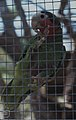 Cuban Parrot.Nassau .New Providence (38154619664).jpg