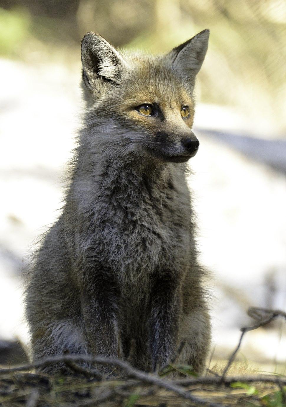 Cucciolo di volpe rossa dell'etna