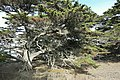 Cupressus macrocarpa - Point Lobos State Reserve - DSC07111.JPG