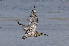 Curlew (Numenius arquata) in flight