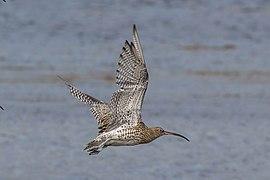 Curlew (Numenius arquata) in flight.jpg