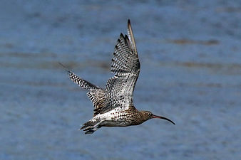 Curlew (Numenius arquata) in flight.jpg