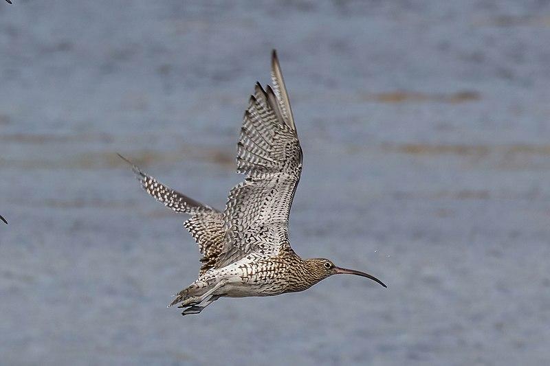 File:Curlew (Numenius arquata) in flight.jpg