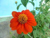 Cute little flower in Andaman Island.jpg