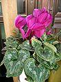 Cyclamen sp1.jpg