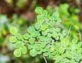 Cytisophyllum sessilifolium in Lozere (3).jpg