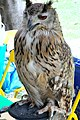 D85 1802Siberian Eagle Owl Photographed by Trisorn Triboon.jpg