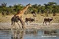 DSC07155.jpeg Giraffen & Eland (50713120048).jpg