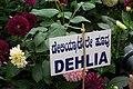 Dahlia at Lalbagh flowershow aug2011 7032.JPG