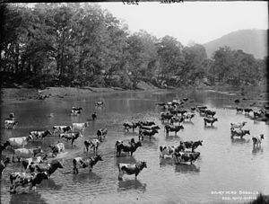 Bodalla, New South Wales - A Dairy herd in Bodalla, circa 1900.