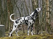 Dalmatian in woods.
