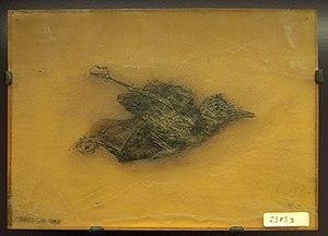 Piciformes - Primozygodactylus, a zygodactylid bird