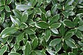 Daphne odora Aureomarginata 1zz.jpg