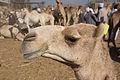 Daraw Camel Market (3).jpg