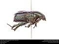Dark Flower Scarab (Scarabaeidae, Euphoria sepulcralis) (26732052713).jpg
