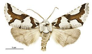 Declana egregia - Female specimen