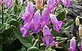 Dedalera 2 (Digitalis purpurea) (43099437554).jpg