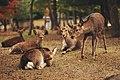 Deer Nara (Unsplash).jpg