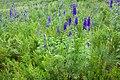 Delphinium geraniifolium - Flickr - aspidoscelis (2).jpg